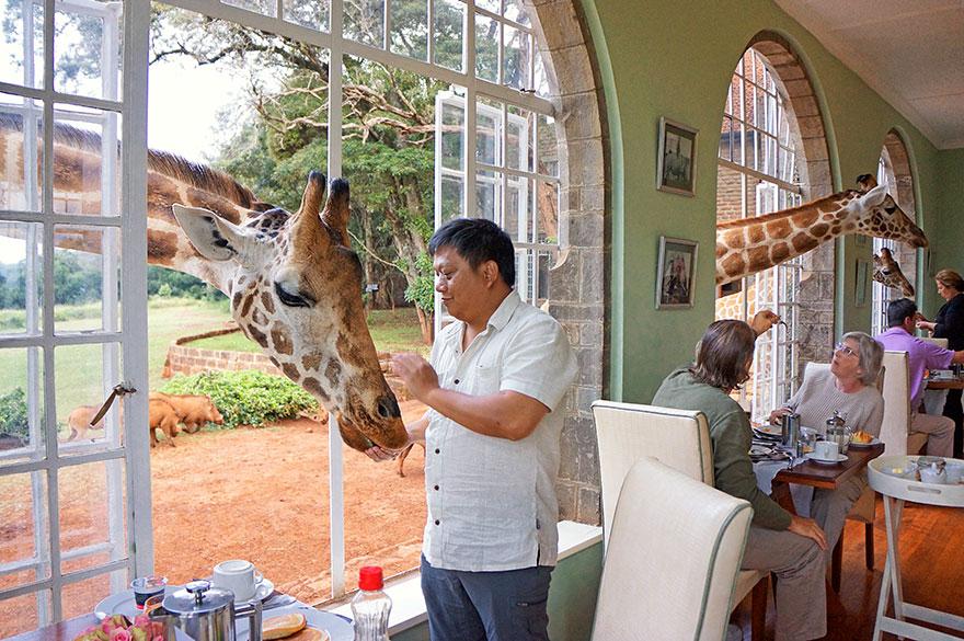«Жирафья усадьба» (Giraffe Manor), Кения, люди за завтраком из окон кормят жирафов