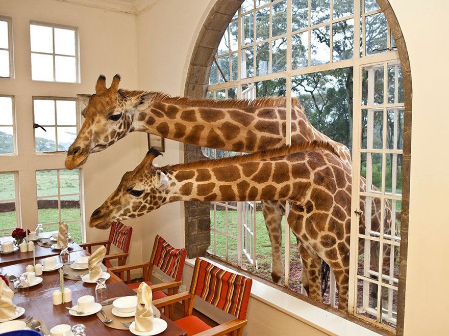 «Жирафья усадьба» (Giraffe Manor), Кения, жирафы влезают в окно