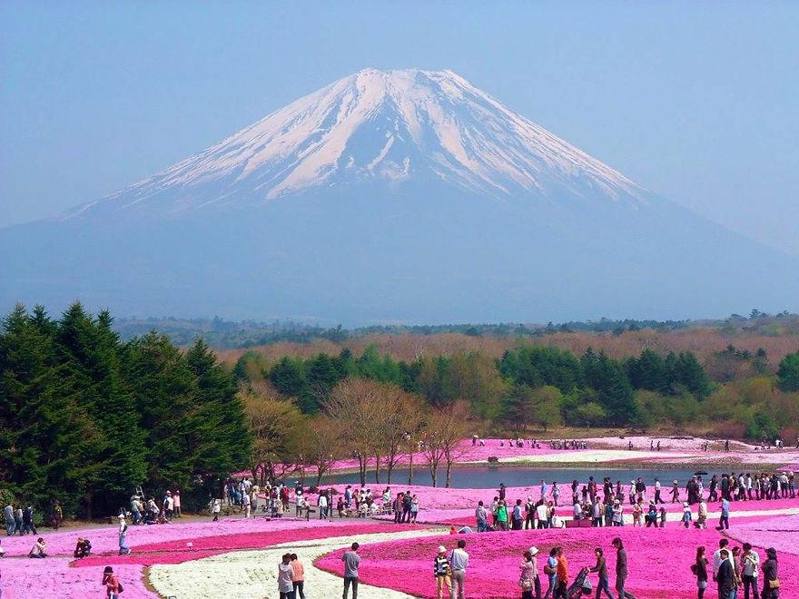 Япония, и фестиваль «Фудзи Сибазакура», когда цветет высаженный в определенные орнаменты «флоксовый мох» сибазакура