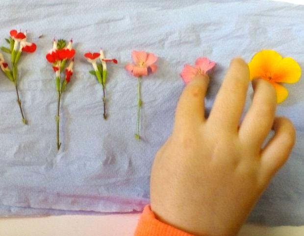 Выбрали и собрали цветы – разложите их с хорошим отступом друг от друга на нескольких слоях кухонных полотенец или промокашек