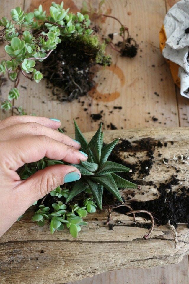 Сажаем суккуленты в почву, как обычно, каждый раз обязательно проверяя, чтобы корни растений были полностью закрыты земле