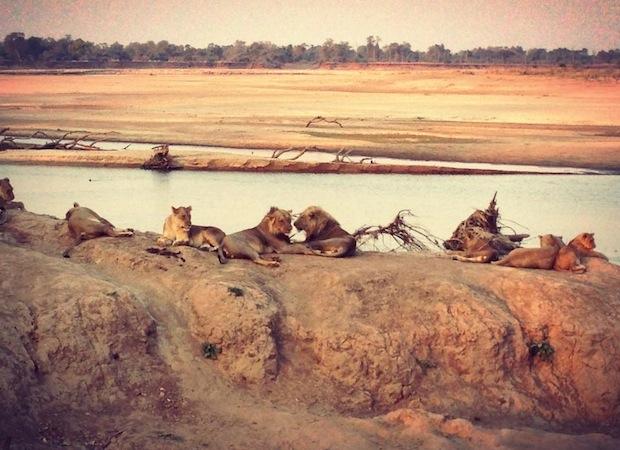 вид на львов у водопоя