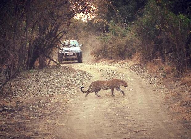 леопард, перебегающий дорогу джипу