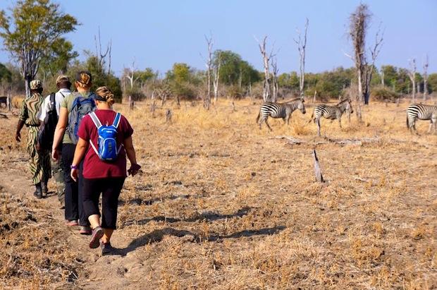 сафари: пешком рядом с пасущимися зебрами