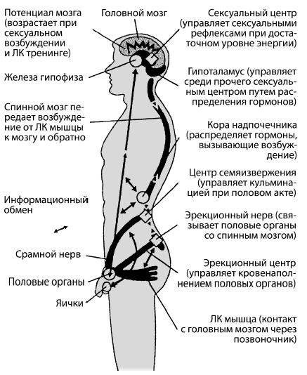 Убедитесь, что сокращаете нужную мышцу. Если вам требуется помощь в ее нахождении, попробуйте поискать картинки строения мочеполовой системы в сети