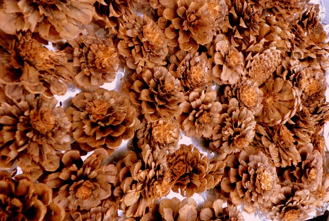 раскрывшиеся сосновые шишки