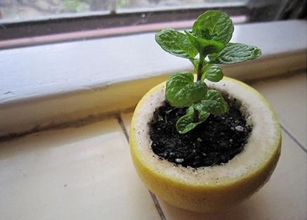 Вместо того чтобы для юной рассады использовать пластиковые контейнеры, попробуйте свежую апельсиновую или лимонную кожуру
