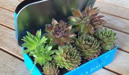 Жестяная коробочка из-под конфет, табака или фирменных аксессуаров может стать хорошим прибежищем для маленьких цветов и рассады