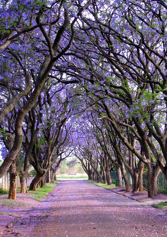 Куллинан - Южная Африка: улицы под пологом цветов