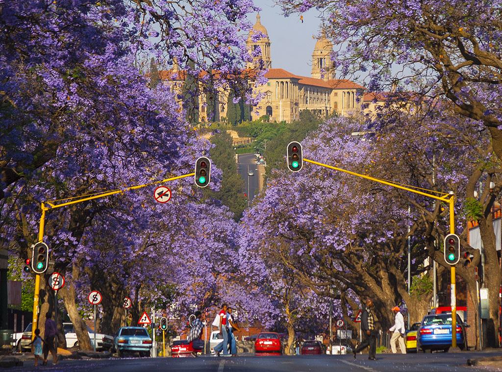 Претория, тоже Южная Африка: улицы под пологом цветов