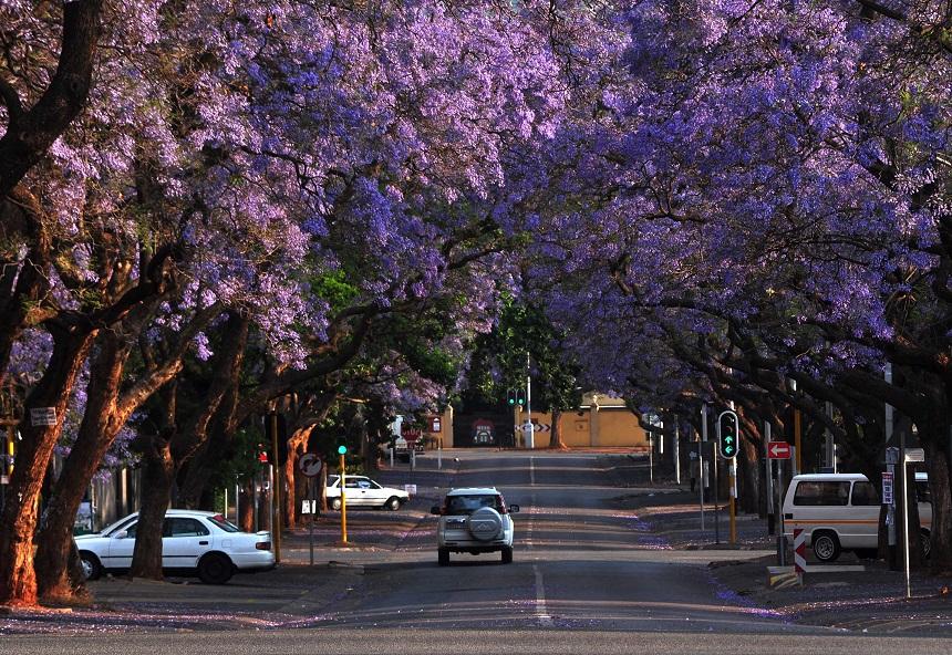 Претория, Южная Африка: улицы под пологом цветов