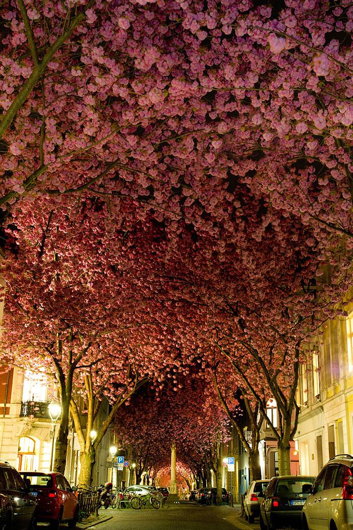 Бонн – Германия. Это цветущая вишня. Улицы под пологом цветов.