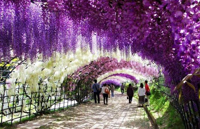 Туннель Вистерия – Япония: улицы под пологом цветов
