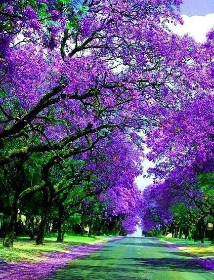 Милтон Авеню, Хараре – Зимбабве: улицы под пологом цветов