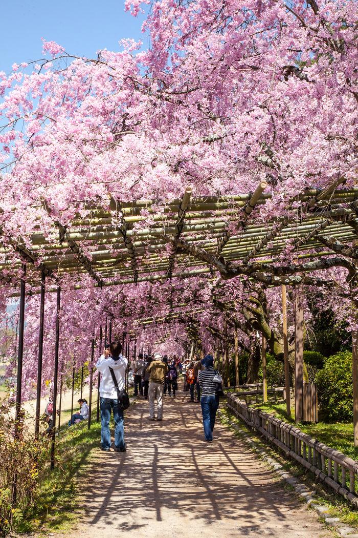 Тоннель возле реки Кано в Киото - Япония: улицы под пологом цветов