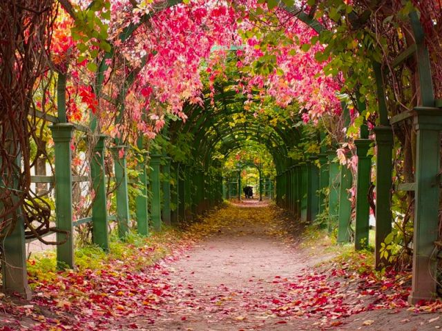 Тоннель из деревьев (арочная аллея Верхнего парка) в Петергофе -  Санкт-Петербург, Россия, летом