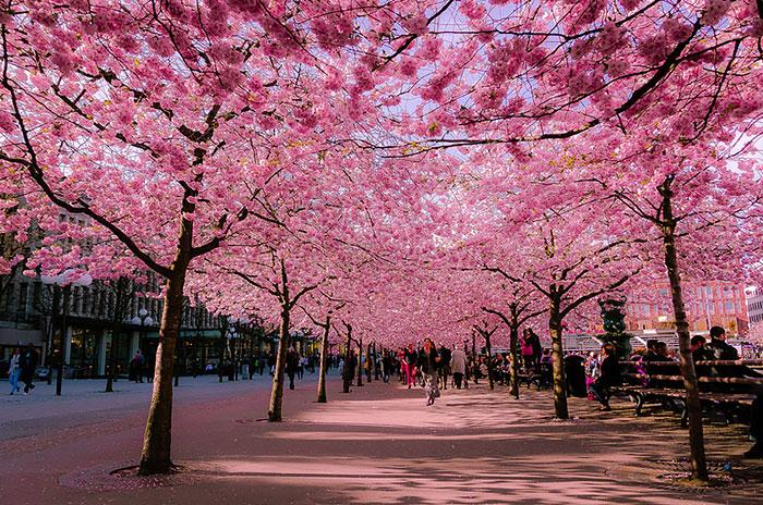 Стокгольм весной – Швеция: улицы под пологом цветов