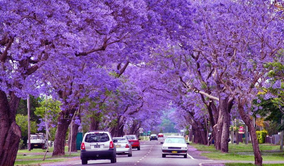Графтон, Новый Южный Уэльс – Австралия: улицы под пологом цветов