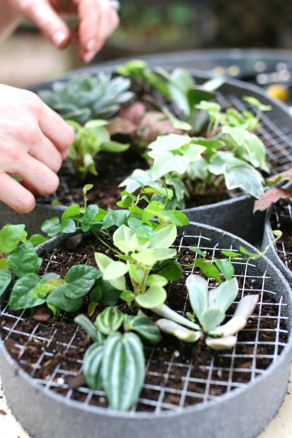 Кусачками вырезаем в сетке внутри рамок маленькие участки для посадки растений, сажаем суккуленты в землю