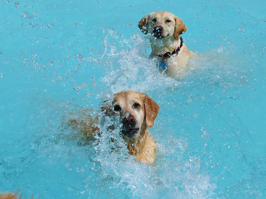 два лабрадора плещутся плескаются в бассейне