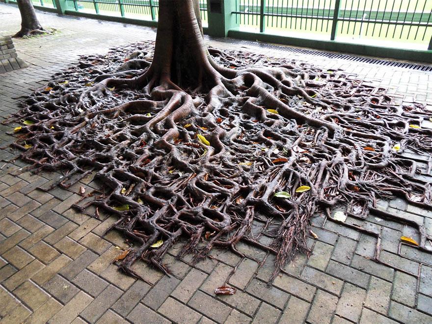 Победа корневой системы дерева над брусчаткой