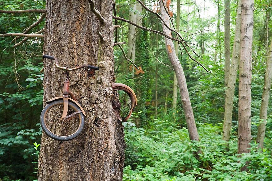 «Съеденный» в процессе роста деревом детский велосипед - Vashon Island, Вашингтон, США