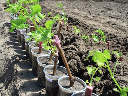 Также можно всыпать 1 чайную ложку соли Эпсома в почву (перемешайте) нижней части ямки для нового растения, когда будете высаживать молодые ростки