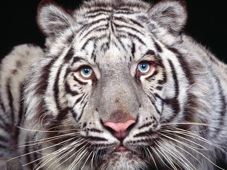 2010 год белый тигр