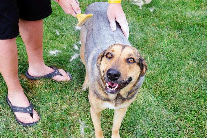 Как сделать сухой шампунь для собак и правильно его использовать