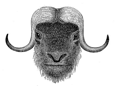 морда буйвола