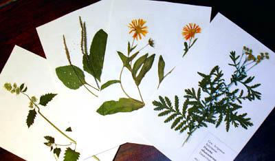 Остается оформить их в папку для гербария.  На один лист крепится один вид растения - в одном или нескольких...