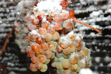 Лучшее ледяное вино производится из виноградин, замороженных натуральным способом, которые промораживались около 36-ти часов