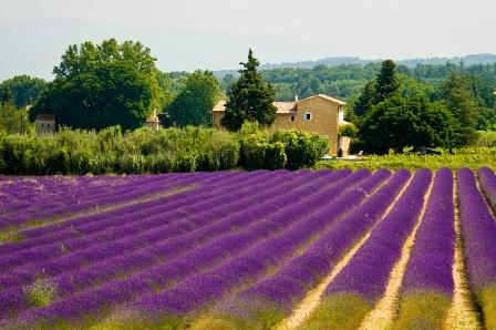 Как цветут лавандовые поля во Франции
