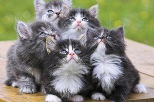 Как выбрать породистого котенка?