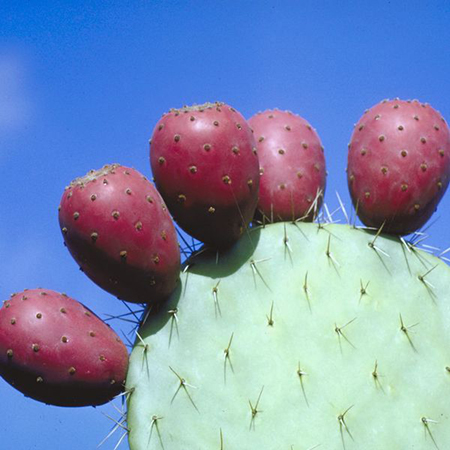 Экстракт опунции (кактус)
