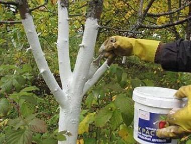 мужчина для защиты коры красит садовое дерево белой краской