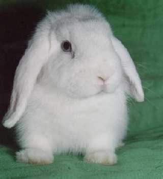 Кролик - чрезвычайно милое животное, таким же будет и год: уютным, дипломатичным...