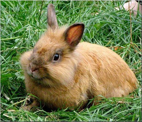 Как правильно выбрать декоративного кролика домой?