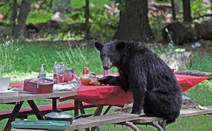 медведь за столом туристов