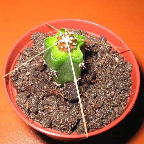 Суть прививки заключается в сращивании трудновыращиваемого кактуса с более жизнестойким растением, способным...
