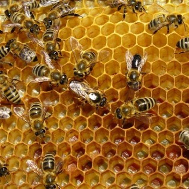 рой пчел на сотах