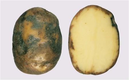 порча картофеля