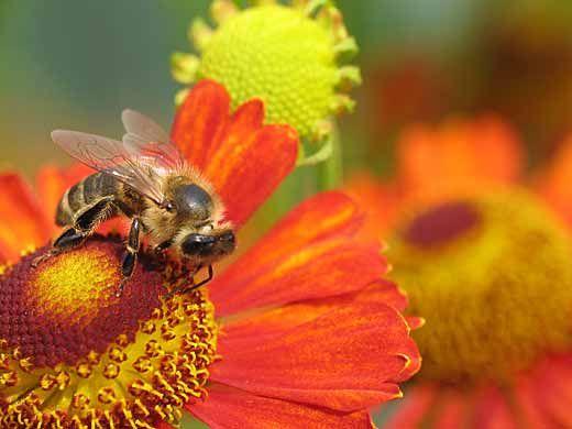 макроснимок фотография пчела на цветке добывает мед