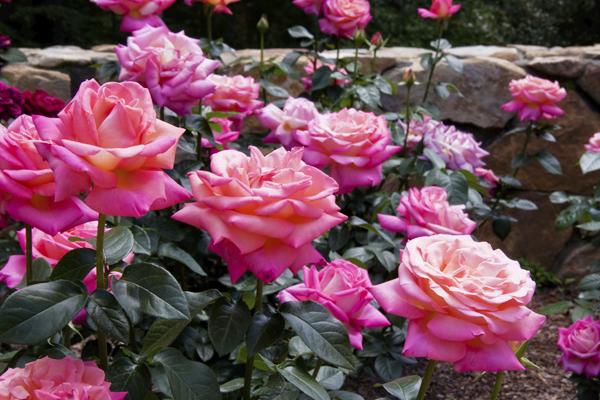 огромные розовые розы в цвету