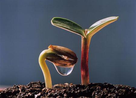 Как только семена взойдут, снимите пластиковые мешки