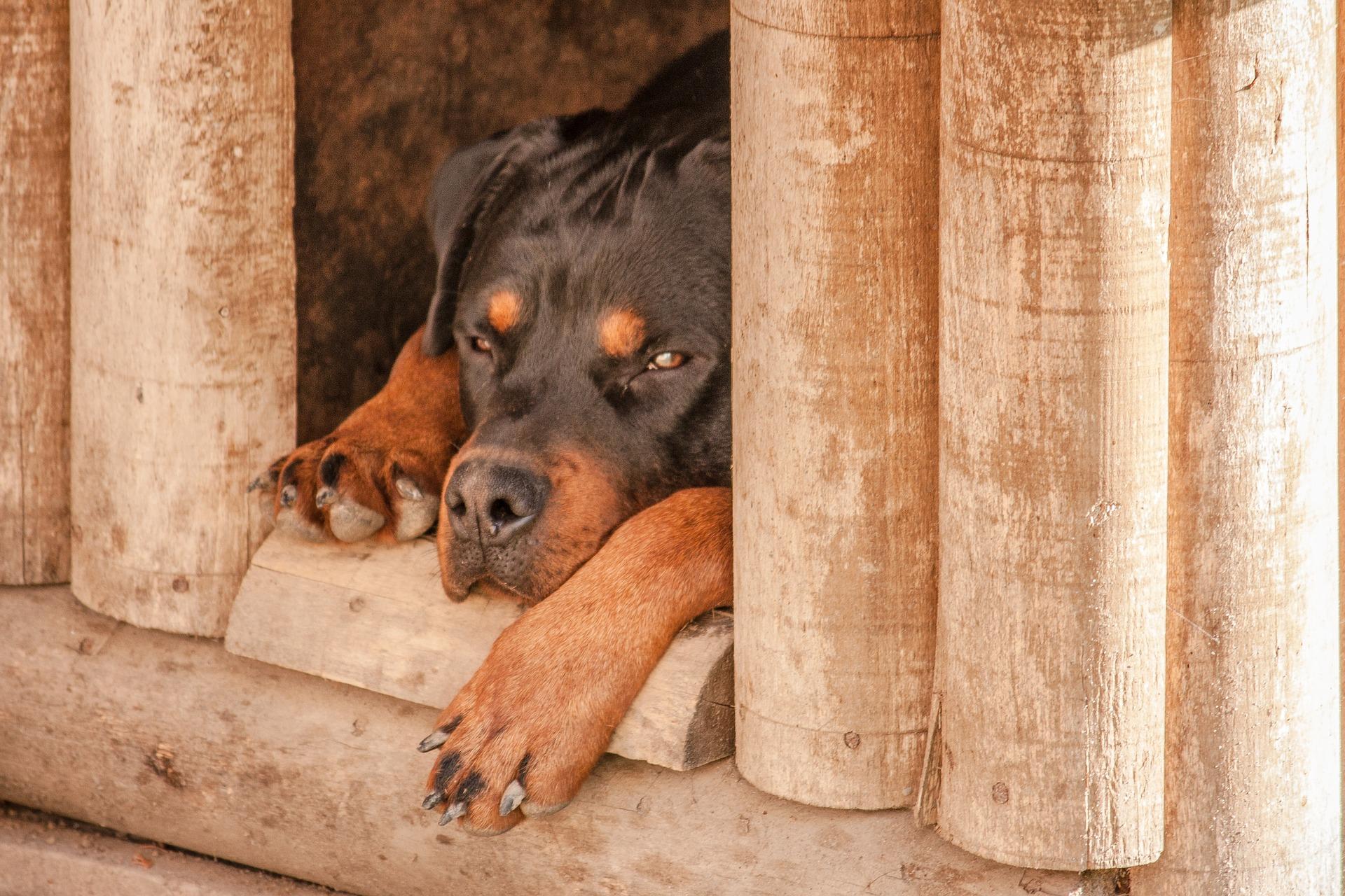 пес в будке