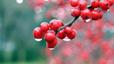 ягоды рябины