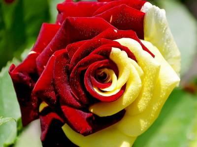 Как сделать лепестки роз разноцветными?