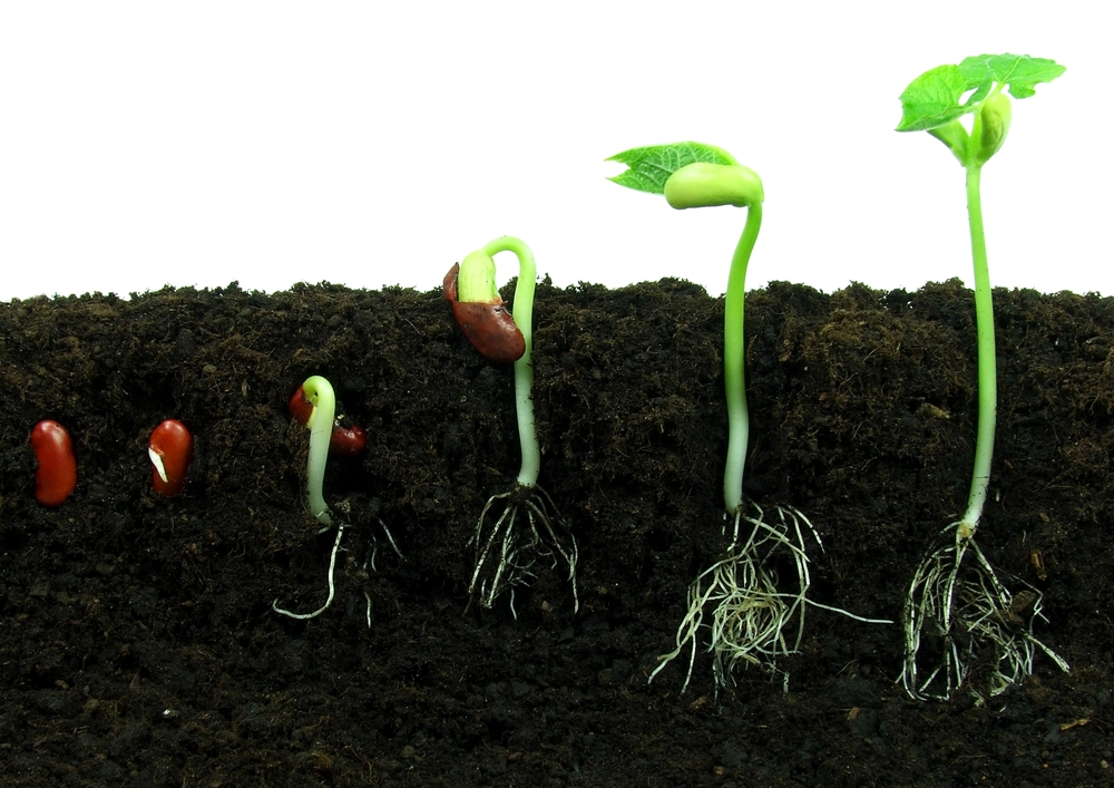 Посадите в землю семена: 4-6 семян бобов на глубину в 2,5 см