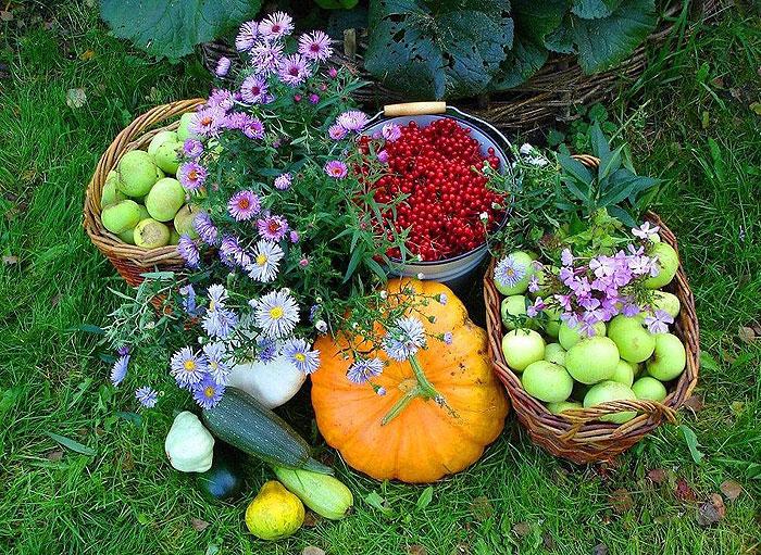 богатый урожай с садового участка в ведрах и корзинах: цветы, красная смородина, кабачки и патиссоны, яблоки, тыква